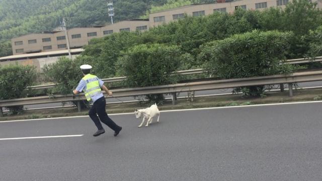 10母羊弃公羊上高速,交警冒死相救