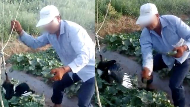 喜鹊偷食庄稼,遭农民吊打致死