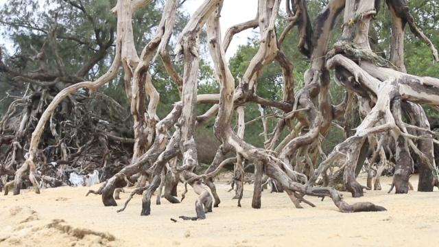 树坚强!木麻黄被海水掏空50年不死