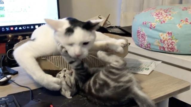 听着就疼!小花猫为躲强吻滚下桌子