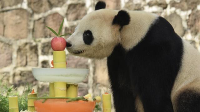 12岁啦!海归大熊猫泰山吃蛋糕庆生