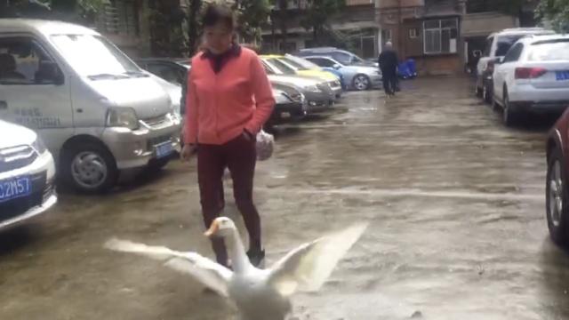 小黄鸭变大白鹅,大妈派它每天巡街