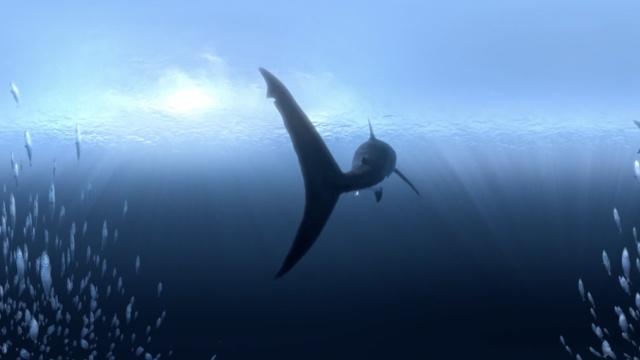 全景视频:与鲨共舞是什么体验
