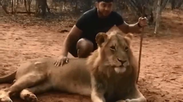 男子抚摸狮子合影:狮子一动,他秒怂