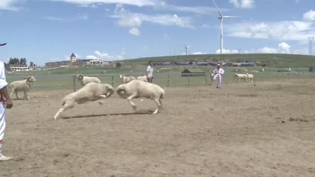 河北办斗羊比赛,公羊对撞头破血流