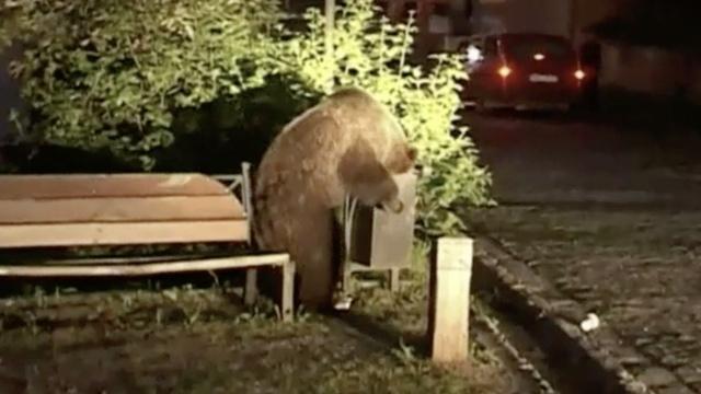 数十只熊闯入小镇:只要吃的不伤人