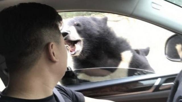视频| 八达岭动物园游客开窗遭熊咬