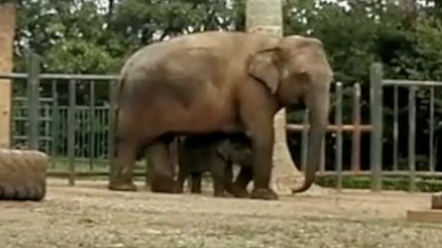 亚洲小象百日首秀,躲麻麻怀中撒娇