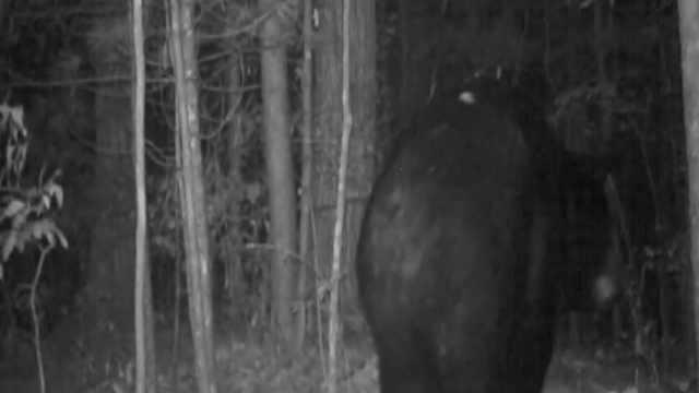 罕见画面 | 300斤黑熊夜间林区穿行