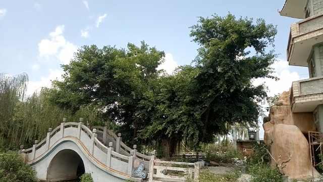 奇!榕树自然生长十年,长成中国地图