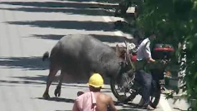 大水牛脱缰上街狂奔,见人就顶
