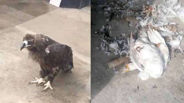 老人捡受伤秃鹫,拿出鸡和羊肉伺候