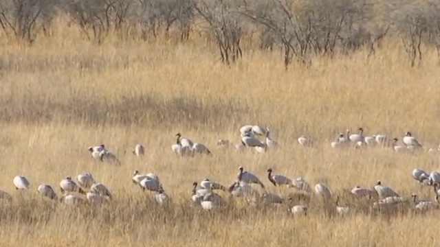 美如画!数万灰鹤迁徙途中栖息湿地