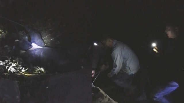 300斤黑熊觅食被困,村民救助狂挣扎