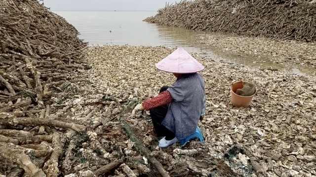 探秘万亩生蚝场:蚝壳遍地,空无一蚝