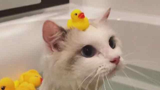 最爱的小鸭子不见了?萌萌猫很焦虑