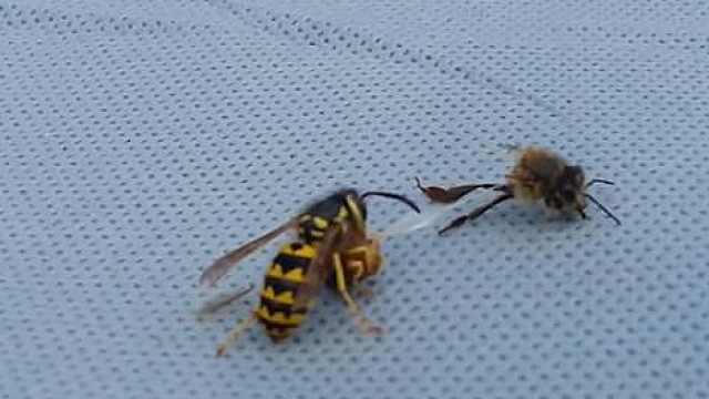 大黄蜂捕食蜜蜂,残忍将其撕两半