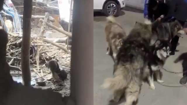 跟拍志愿者进贩狗窝点,救数十只狗