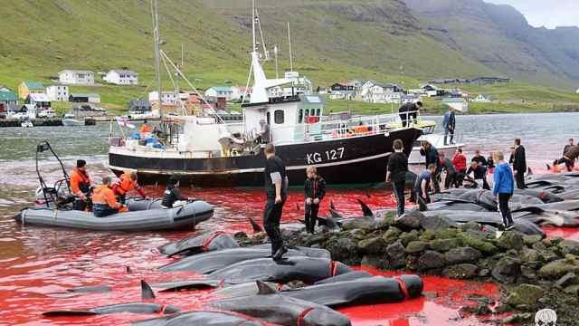 丹麦大规模捕杀鲸鱼海豚,血染海湾