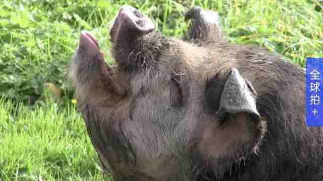"""英国现""""猪陪你散步""""服务,不便宜"""