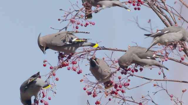 太平鸟齐齐哈尔越冬觅食,枝头群舞