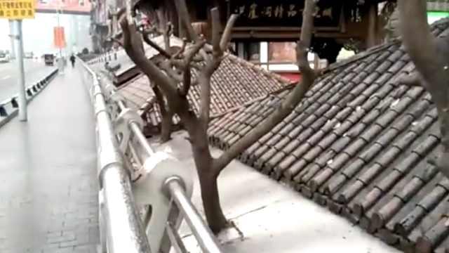 重庆特色!大树穿房顶,泥砖里生长