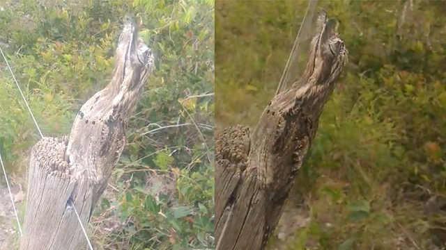 这鸟伪装树干天衣无缝,表情也魔性