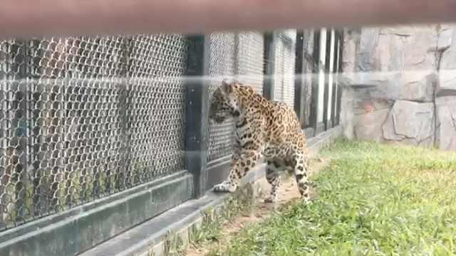 广州动物园一豹子出笼逃跑,被麻醉
