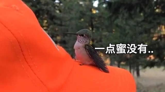 蜂鸟:这么大朵花,怎么就没蜜呢?