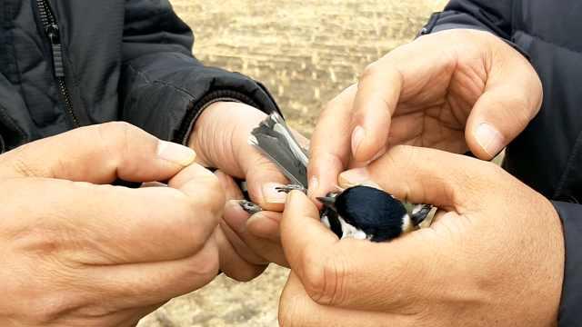 拆!村民冬季张网捕鸟,被逐个