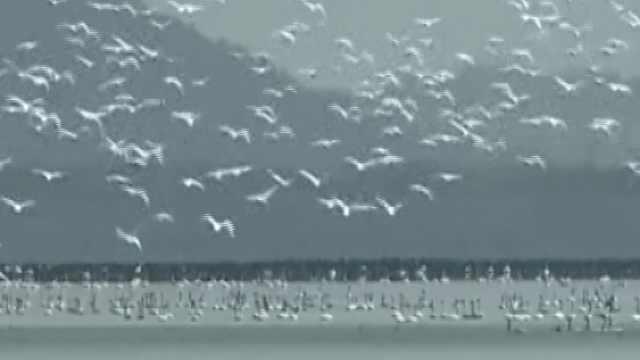 快来鄱阳湖,看尽天下白鹤