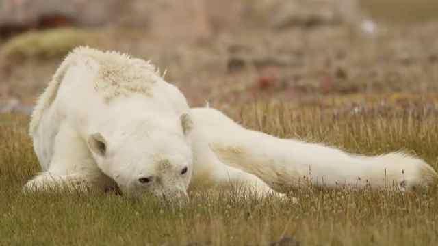骨瘦如柴!即将饿死的北极熊