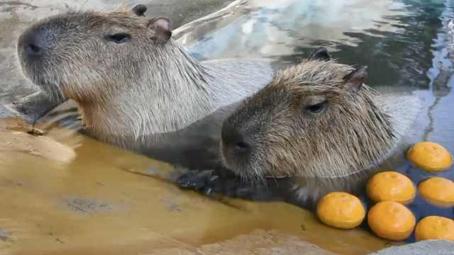 超享受!日本水豚泡舒服柚子温泉