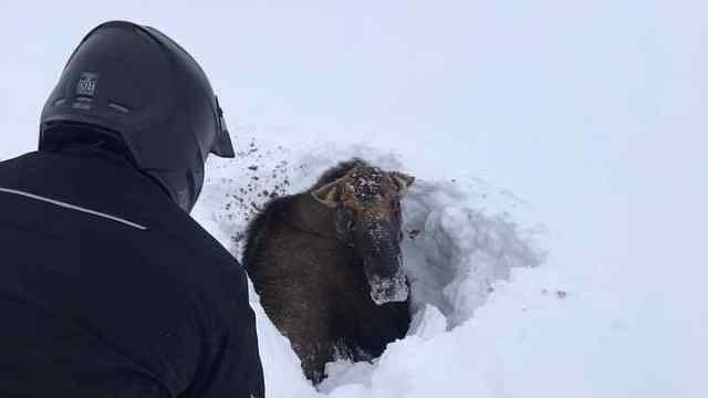 驼鹿被困半米深雪,被摩托车手挖出