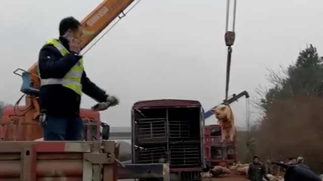 运猪车侧翻高速,吊车帮忙抓猪转运
