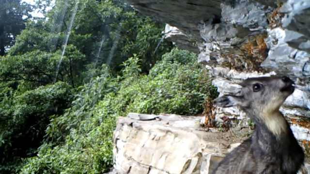斑羚以悬崖为家,舔食岩盐&晒太阳