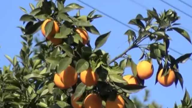 果农3千斤脐橙滞销,电工2天帮卖完