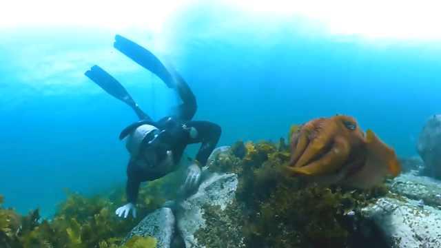 惬意!小哥深海潜水,邂逅一大乌贼