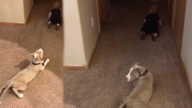 爆笑!淘气汪学萌娃走路:匍匐爬行