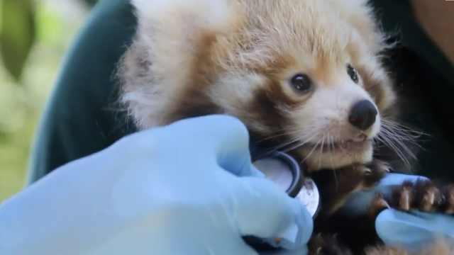看小熊猫体检,真的一点也不可爱!