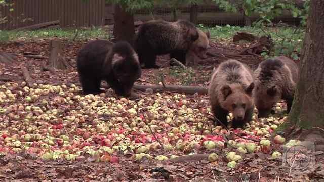 小黑熊春游,捡地上的苹果吃