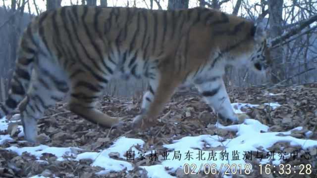 野生东北虎林中散步,吼声低沉可辨