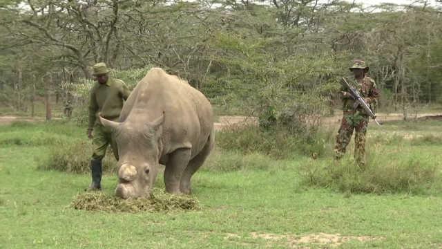 最后的雄性白犀牛,24小时警卫保护