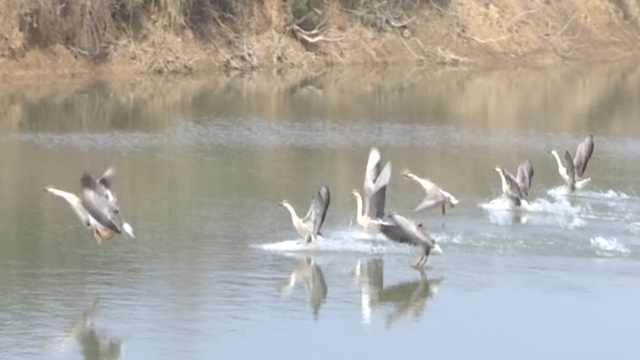 8只鸿雁偷吃村民白菜,还赖着不走了