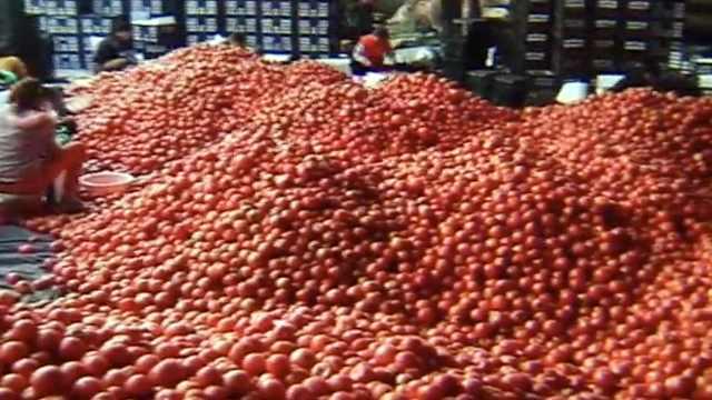 米易番茄滞销,成都人1天买10万斤