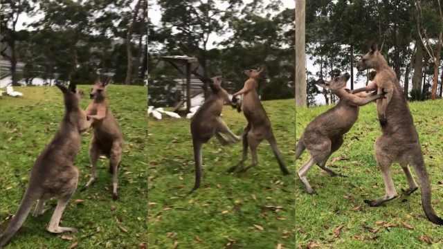 袋鼠打架:杀气与蠢萌并存