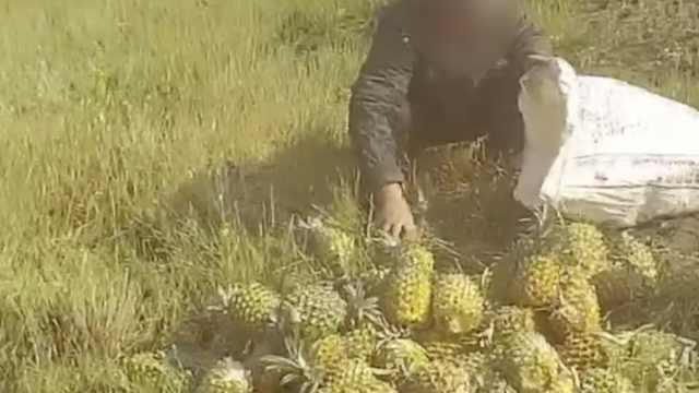 32吨菠萝倾翻遭村民哄抢,民警怒斥