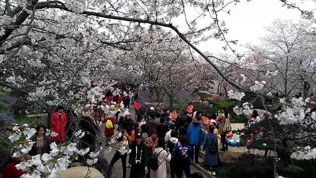 东湖樱花绽放,游客纷纷自拍