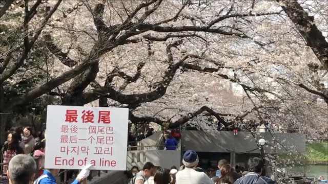 东京赏樱热,景点中文标语有点尬