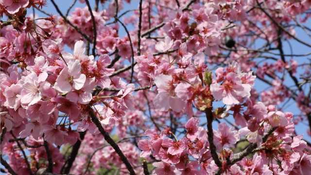樱花季,实拍东京上野公园漫天花雨